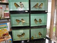 Gloster Canaries £10.00 each