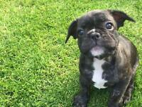French bulldog puppy.