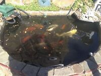 Carp fish for sale 10 for £300 willing to sell separate