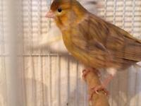 "Lovely colour brown ""autumn"" male canary"