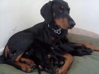 Dobermann pups