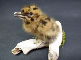 TAXIDERMY baby Black headed gull chick no. 1