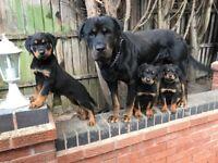 Rottweiler puppies looking for their forever homes.