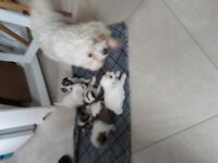 Mixed breed puppiez for sale