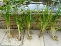 Various Pond Plants for sale