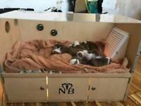 Stunning champion bulldog puppies