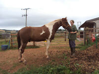 Stunning Skewbald gelding approx 15.3hh rising 4 for sale