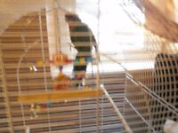 Lovely Male Rosella withe cage, toys, food and character