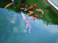 ASSORTED POND FISH INC LARGE GOLDEN ORFE INC POND AND EQUIPMENT