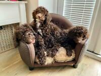 Gorgeous Chocolate and Apricot Toy Poodle Puppies 🐶