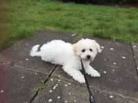 Bichon Frise puppy for sale