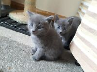 Beautiful Blue kittens 2 left