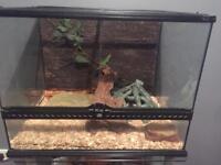 Corn Snake with Vivarium