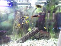 PLATY TROPICAL FISH