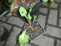 A pink stem Swiss Chard plant in a 11 cm plastic square pot