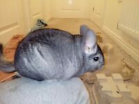 2 male chinchillas for sale. Lovely energetic, playfull little guys