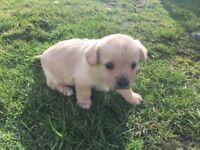 Cavalier X Westie Puppies