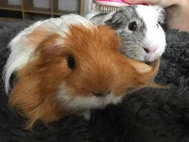 2 Gorgeous Male Guinea Pigs & all accessories