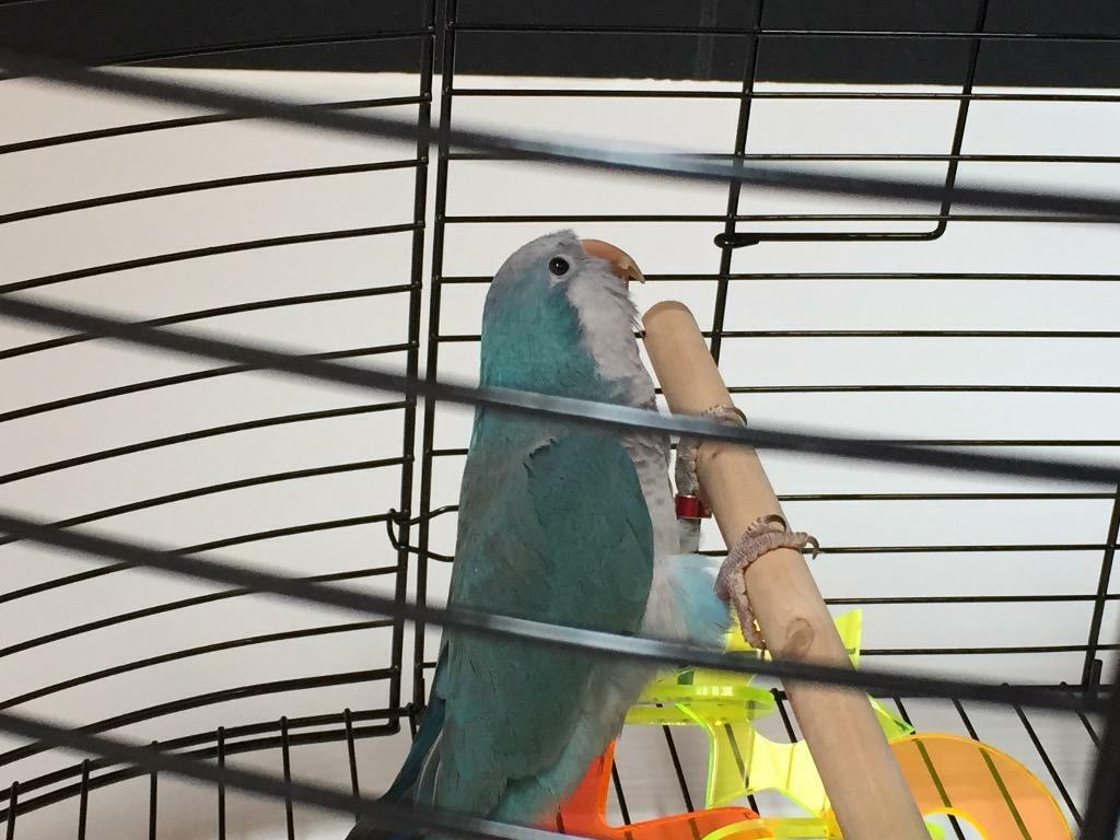 Blue Quaker Parrot 6 Months Old With Cage Etc In