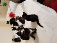 Beautiful Black and white kittens £150 up for sale