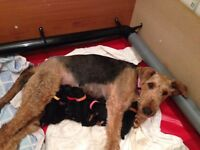 Kc registered Airedale Terriers