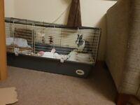 Netherland dwarf rabbit 1 year with cage