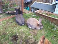 Male and Female Bunny