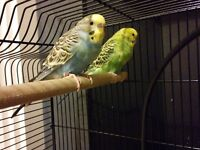 2 young budgies with cage for sale