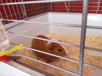 X2 male Guinea pigs with large cage