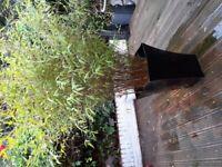 Large Bamboo patio plant