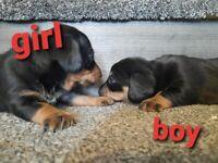 Dashound pups