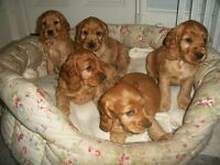 stunning golden cocker spaniel puppies