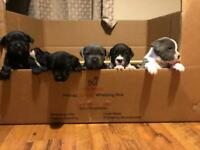 6 Staff Puppies for sale