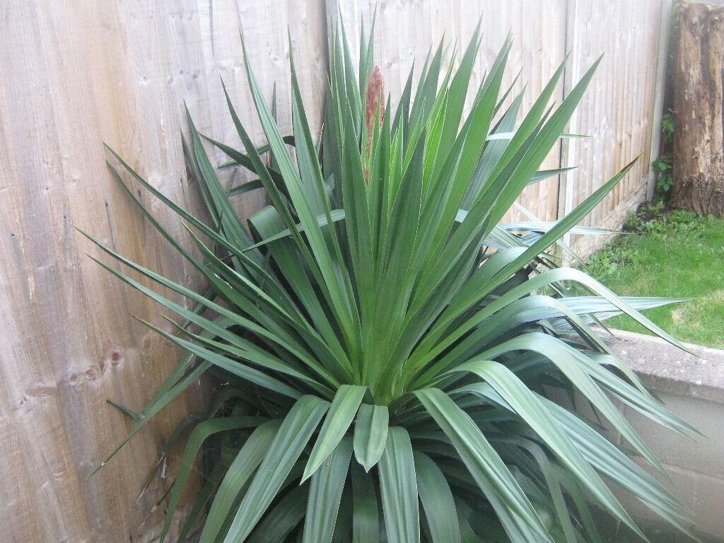 Large yuka spiky garden plant in hucknall for Large garden plants
