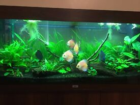 """Checkerboard Discus Fish For Sale 4-5"""" £70 RRP £110"""