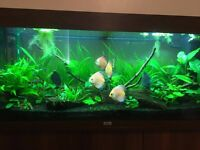 "Checkerboard Discus Fish For Sale 4-5"" £70 RRP £110"