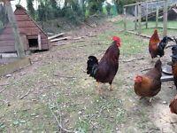 Hens / bantams/ chickens
