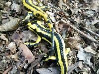 Fire salamander (fastuosa)