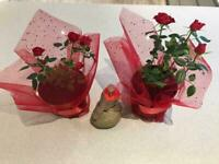 Roses miniature in red white pink and apricot