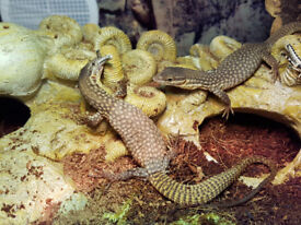 2x Young Ackie Monitors £120 for both