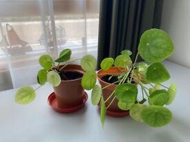 2 Chinese money plants
