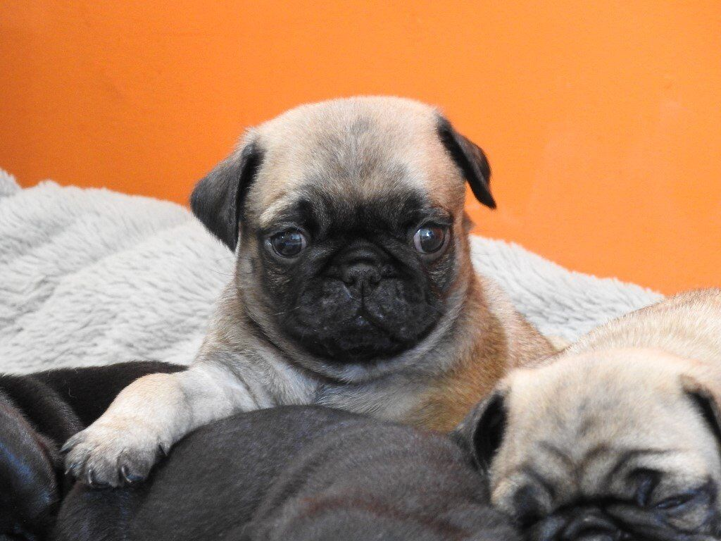 Pug Puppies For Sale Girls And Boys Fawn And Black Pure Breed Full