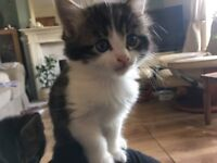 Grey, white, tabby kittens ready now