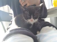2x 8 week old half siamese kittens for sale