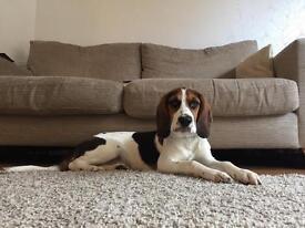 Cocker spaniel/ Beagle