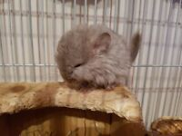 Tan Chinchilla (she) firstborn of a first time parents persian beige and midnight blue