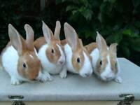 12 week old Dutch bunnies