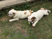 DNA Tested English Bulldog Puppies for sale