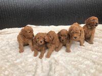 Miniature labradoodles puppy's