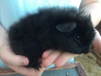 Baby Guinea pigs for sale lovely and very friendly held daily.